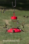 Ruby-throated Hummingbirds at Dr. JB's Hummingbird Feeder at Daybreak Imagery