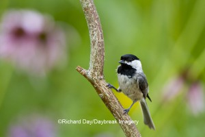 Carolina Chickadee in flower garden at Daybreak Imagery