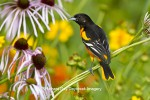 Male Baltimore Oriole in Pale Purple Coneflowers at Daybreak Imagery