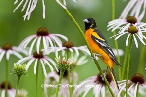 Male Baltimore Oriole on Pale Purple Coneflower in gardens at Daybreak Imagery
