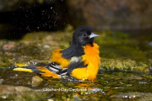 Baltimore Oriole male bathing at Daybreak Imagery