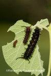 Pipevine Swallowtail catepillars on host plant--Dutchman's Pipevine (Aristolochia marophylla)