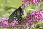 Pipevine Swallowtail butterfly (Battus philenor) male on Butterfly Bush (Buddleia davidii)