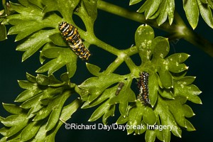 Black Swallowtail (Papilio polyxenes) caterpillars on parsley
