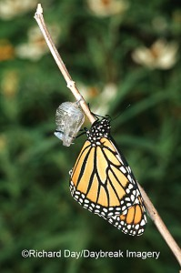 Monarch (Danaus plexippus) emerging from pupa/chrysalis