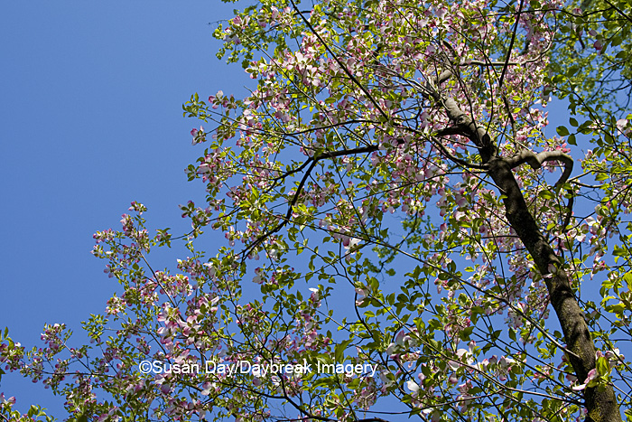 Pink Flowering Dogwood Tree in spring