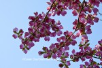 Pink flowering dogwood in spring