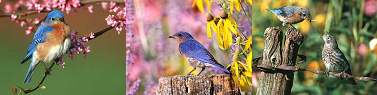 Eastern Bluebirds at the Daybreak Sanctuary